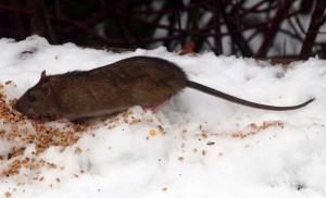 Rotter spiser fuglefoder