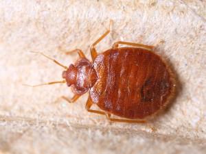 Væggelus - Cimex lectularius